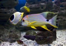 Maagdelijke van het de ertsader pompom aquarium van kankeraarvissen de wereld overzeese onderwater oceaan heldere kleuren exotisc Royalty-vrije Stock Foto's