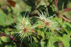 Maagdelijke van het prieel Amerikaanse wildflower van ` s het zaadpeulen royalty-vrije stock foto's