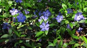 Maagdenpalm, blauwe bloemen stock afbeelding
