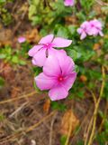 Maagdenpalm van Madagascar, Vinca, Oud meisje, de jasmijn van Cayennepeper, nam periwinkle†‹flower†‹toe stock afbeeldingen