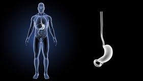 Maaggezoem met organen voorafgaande mening vector illustratie