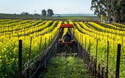 Maaiende mosterd in een wijngaard Stock Foto
