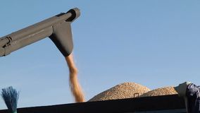 Maaimachinemassa van geoogste graankorrel in de vrachtwagen stock video