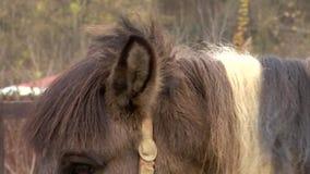 Maak en gevend voor de manen van een vriendschappelijk bruin paard van Ijslands ras in de pen schoon stock footage