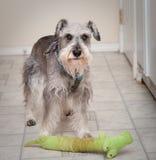 Maakte zich weinig hond met spelstuk speelgoed ongerust Stock Afbeelding