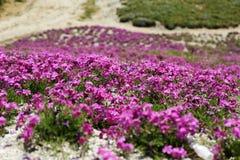 Maalde roze Royalty-vrije Stock Foto's