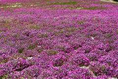 Maalde roze Stock Fotografie