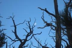 Maan in boomtakken Stock Foto's
