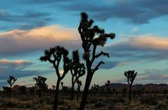 Maan die door Joshua Tree Branches in Joshua Tree National Park, Californië gluren Stock Fotografie