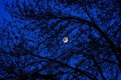 Maan door de bomen Stock Fotografie