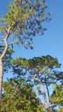 Maan en pijnboom Stock Afbeelding