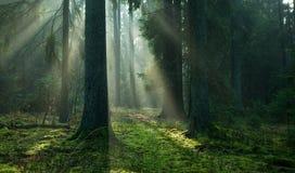 Mañana brumosa del otoño en soporte conífero Imagenes de archivo
