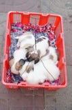 3 maand oud puppy Royalty-vrije Stock Afbeelding