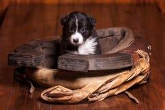 Maand-oud puppy border collie die binnen kraag voor een paard zitten en de camera bekijken Royalty-vrije Stock Foto