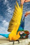 4 maanden Blauwe en Gele Ara, Mooie kleurenveren Royalty-vrije Stock Fotografie