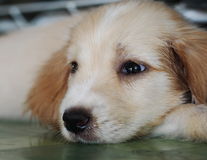 3-maanden jong de hond lang harig bont van het kruisingspuppy Stock Foto's