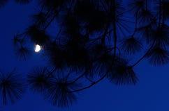 Maanlicht in de nachthemel met pijnboombladeren Stock Afbeeldingen