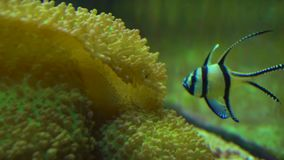 Maanvissen in aquarium stock footage