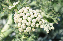 Maanwortel (Seseli-gummiferum) Stock Foto's