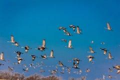 7 MAART, 2017 - Groot Eiland, de RIVIER van Nebraska - PLATTE, de Migrerende Sandhill Kranen van VERENIGDE STATEN vliegt over cor Stock Foto