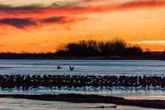 8 MAART, 2017 - Groot Eiland, de RIVIER van Nebraska - PLATTE, van het waterkip en Sandhill van VERENIGDE STATEN Migrerende Krane Stock Foto's