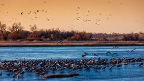 8 MAART, 2017 - Groot Eiland, de RIVIER van Nebraska - PLATTE, van het waterkip en Sandhill van VERENIGDE STATEN Migrerende Krane Royalty-vrije Stock Foto's