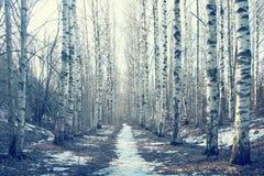 Maart-het bos van de landschapsberk Royalty-vrije Stock Fotografie