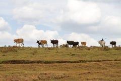 Maasai人hearding的家畜在Ngorongoro 库存图片