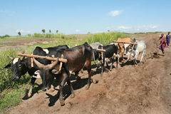 Maasai犁拉扯六头水牛的鞔具 免版税库存图片