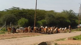 Maasai and the cows stock footage