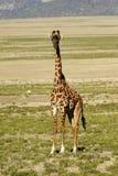 maasai för giraff iii Fotografering för Bildbyråer