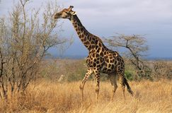 Maasai giraff (giraffaen Camelopardalus) på savannah Royaltyfri Foto