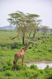 Maasai Giraffe Royalty Free Stock Photos