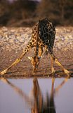 Maasai Giraffe (Giraffa Camelopardalus) drinking at waterhole Royalty Free Stock Images