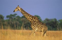 Maasai Giraffe (Giraffa Camelopardalus) on savannah Royalty Free Stock Images