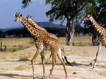 Maasai Giraffes Royalty Free Stock Photo