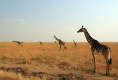 Maasai Giraffes. (Giraffa Tippelskirchi) on Savannah, Maasai Mara, Kenya Stock Photos