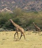 Maasai Giraffes. Crossing the Tanzanian Plains royalty free stock photos