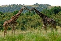 Maasai giraffes, Maasai Mara Game Reserve, Kenya Royalty Free Stock Image