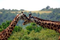 Maasai giraffes, Maasai Mara Game Reserve, Kenya Stock Images