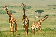 Maasai giraffes, Maasai Mara Game Reserve, Kenya Royalty Free Stock Images