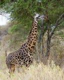 Maasai giraffsideview Fotografering för Bildbyråer