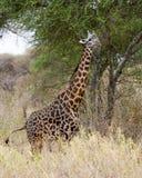 Maasai giraffsideview Arkivbilder