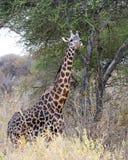 Maasai giraffsideview Arkivfoto