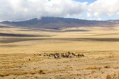 Maasai herding cattle in Ngorongoro Stock Photography