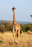 Maasai or Kilimanjaro Giraffe grazing Kenya Stock Photography
