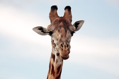 Maasai or Kilimanjaro Giraffe portrait Kenya Africa Stock Photo