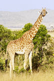 Maasai Mara Giraffe Royalty Free Stock Photos