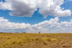 Maasai Mara Safari Stock Image