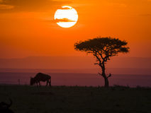 Maasai Mara Sunset. Captured in Maasai Mara, Kenya. sunset with a wildebeest and a tree as background stock images